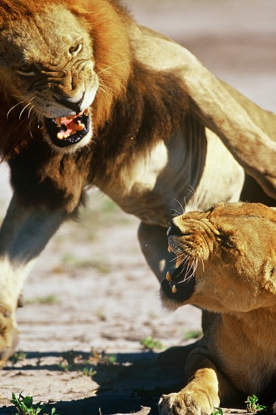 Lions Mating 2 mambo